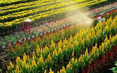 Làng hoa Sa Đéc Đồng Tháp tết này có gì? Chiêm ngưỡng vựa hoa lớn nhất miền tây